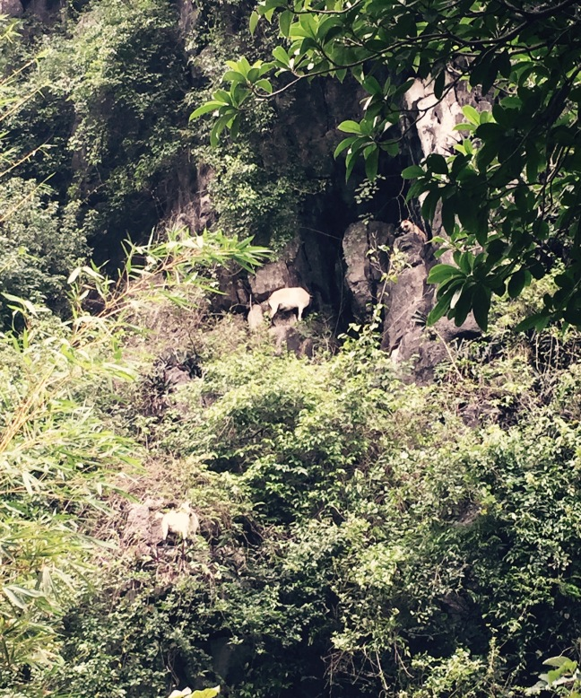 It's a terrible photo, but I couldn't resist. Vietnamese mountain goats!